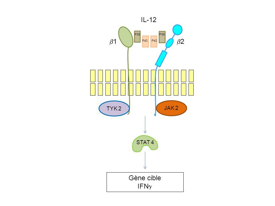 IL-12 b2 JAK 2 P35 TYK 2 b1 STAT 4 Gène cible IFNg P40