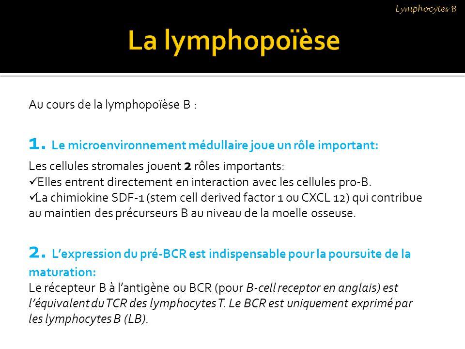 Lymphocytes B La lymphopoïèse. Au cours de la lymphopoïèse B : 1. Le microenvironnement médullaire joue un rôle important: