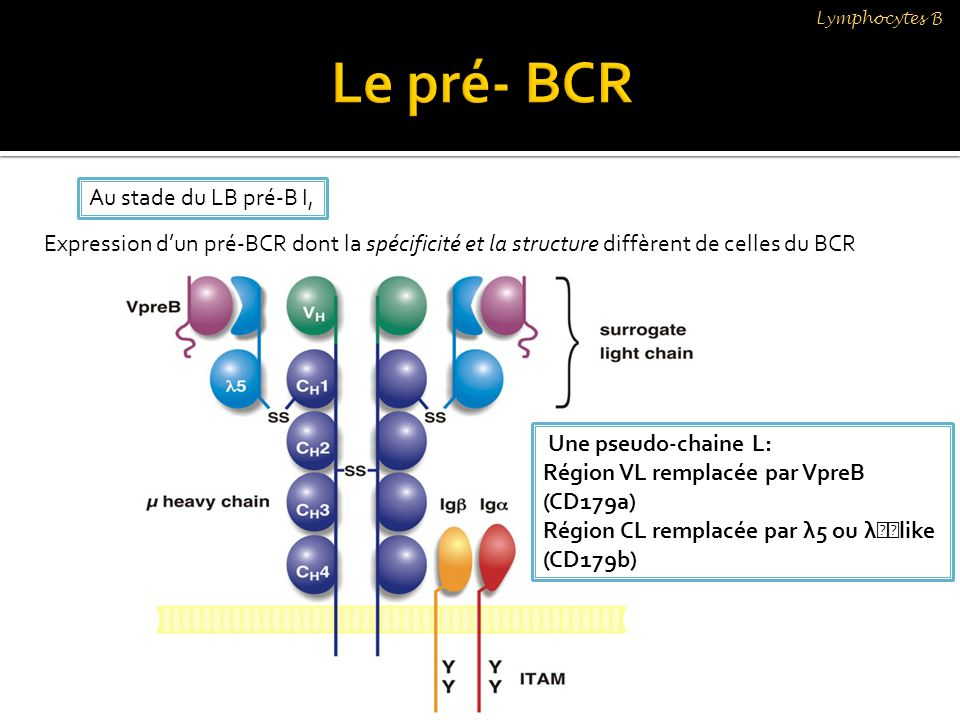 Le pré- BCR Au stade du LB pré-B I,