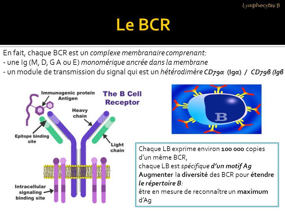 Le BCR En fait, chaque BCR est un complexe membranaire comprenant: