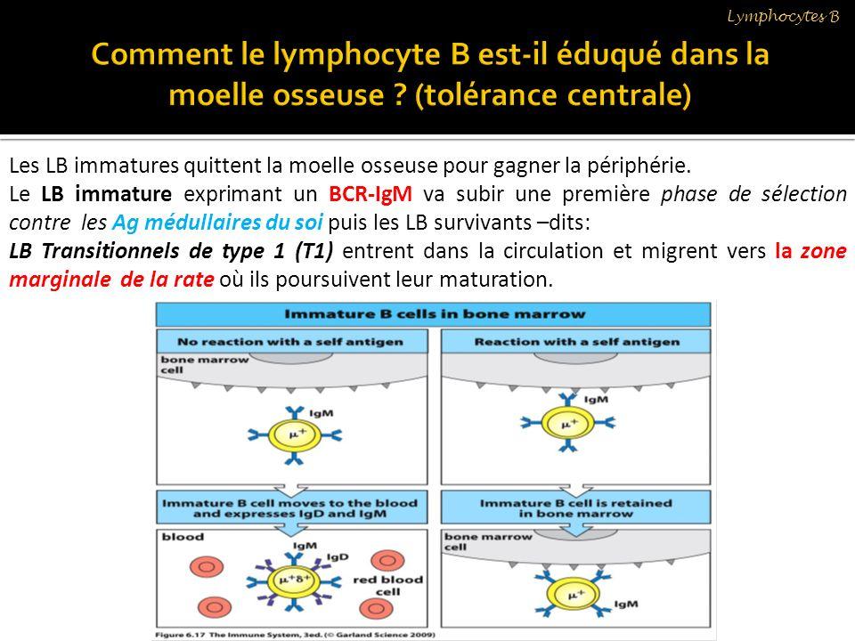 Lymphocytes B Comment le lymphocyte B est-il éduqué dans la moelle osseuse (tolérance centrale)
