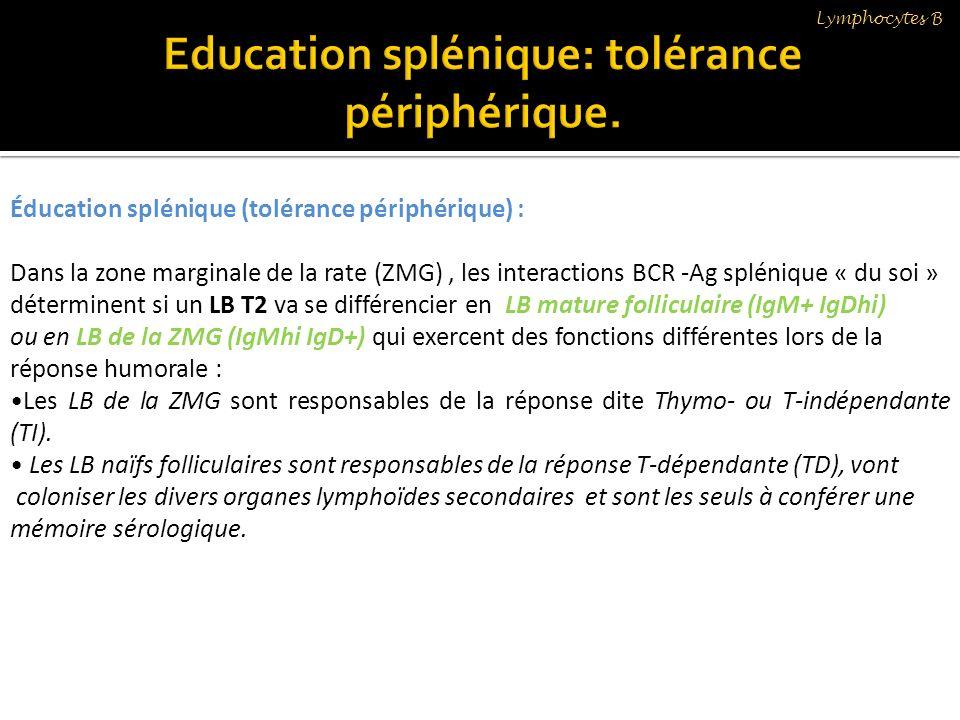 Education splénique: tolérance périphérique.