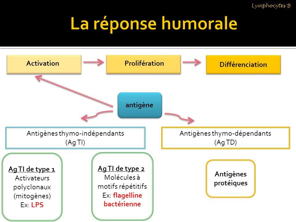 La réponse humorale Différenciation Activation Prolifération antigène