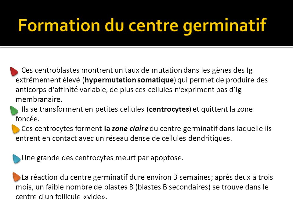 Formation du centre germinatif