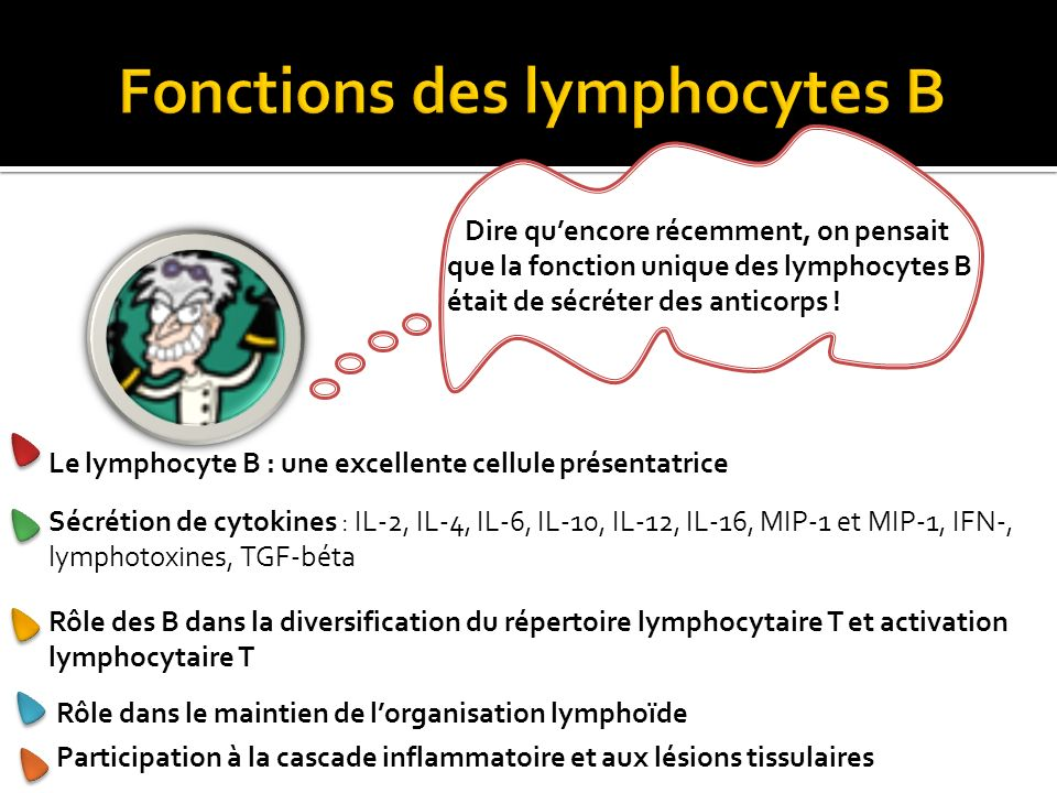 Fonctions des lymphocytes B