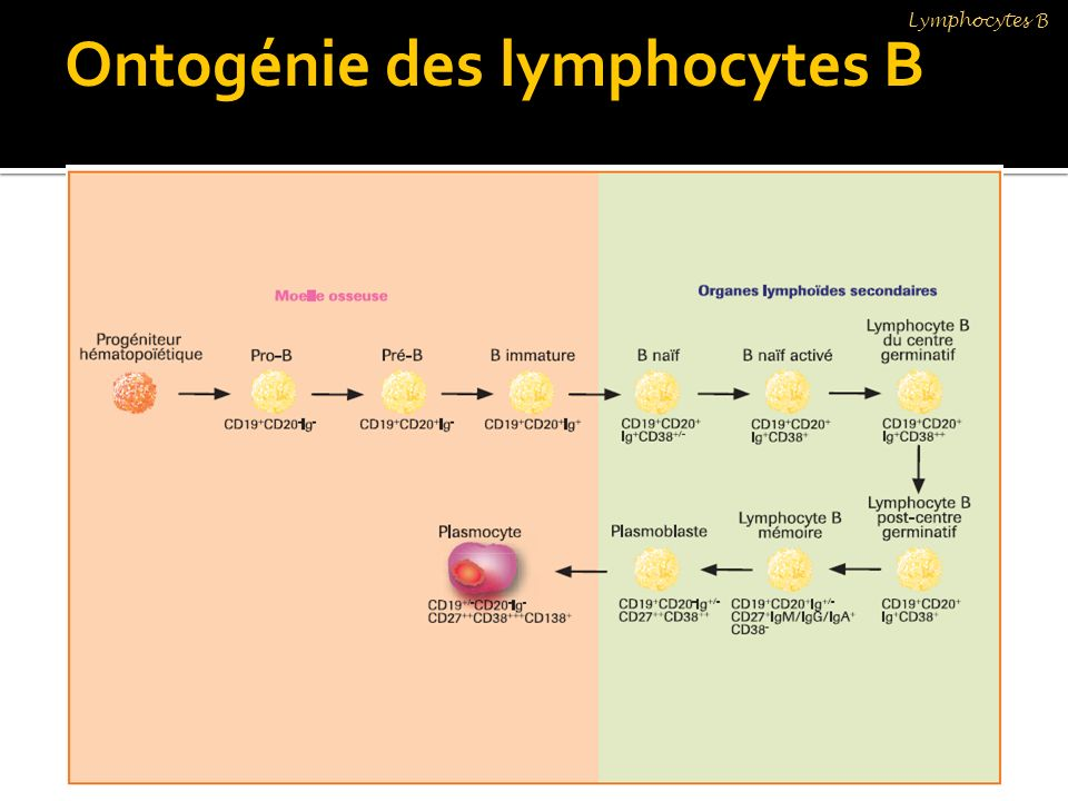 Ontogénie des lymphocytes B