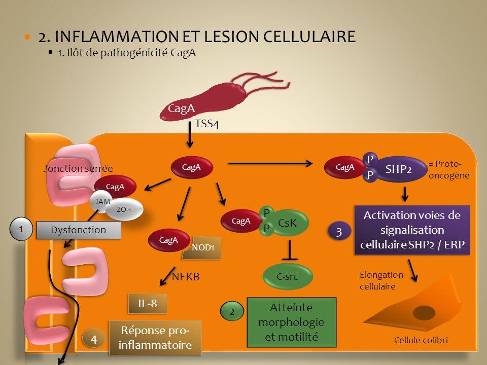 2. INFLAMMATION ET LESION CELLULAIRE