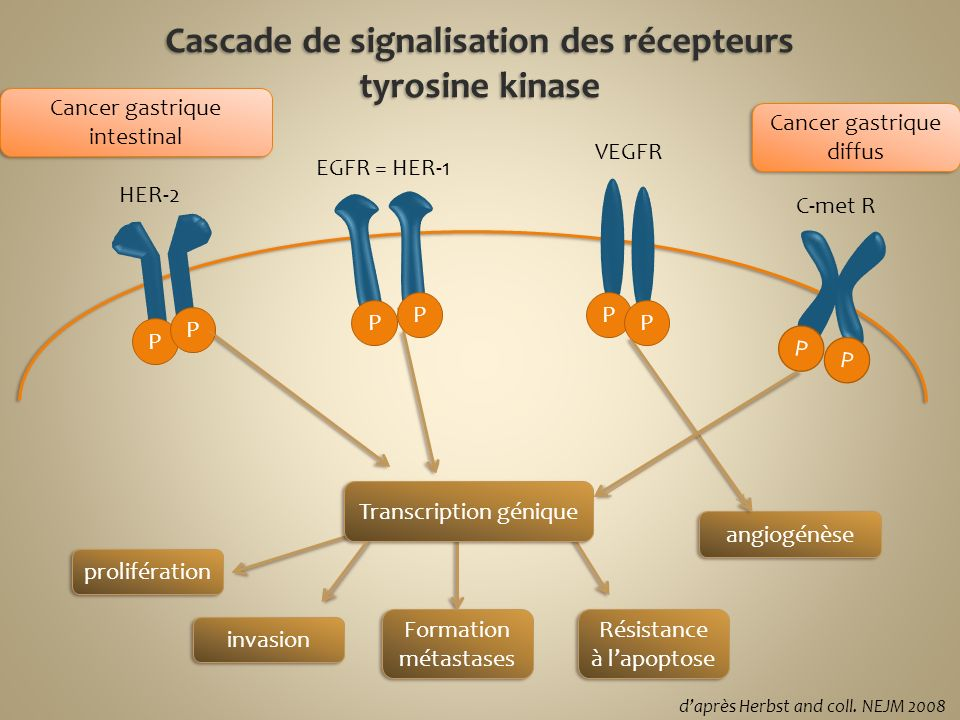 Cascade de signalisation des récepteurs