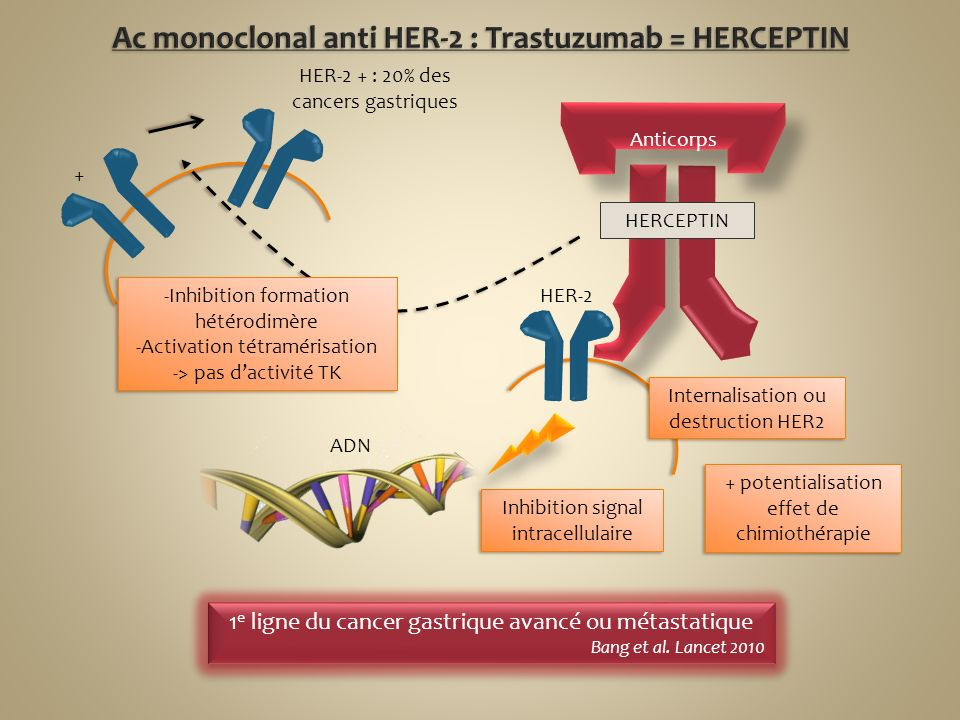 Ac monoclonal anti HER-2 : Trastuzumab = HERCEPTIN
