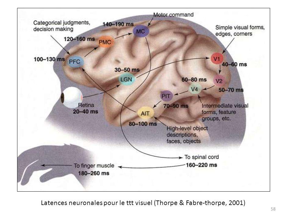 Latences neuronales pour le ttt visuel (Thorpe & Fabre-thorpe, 2001)