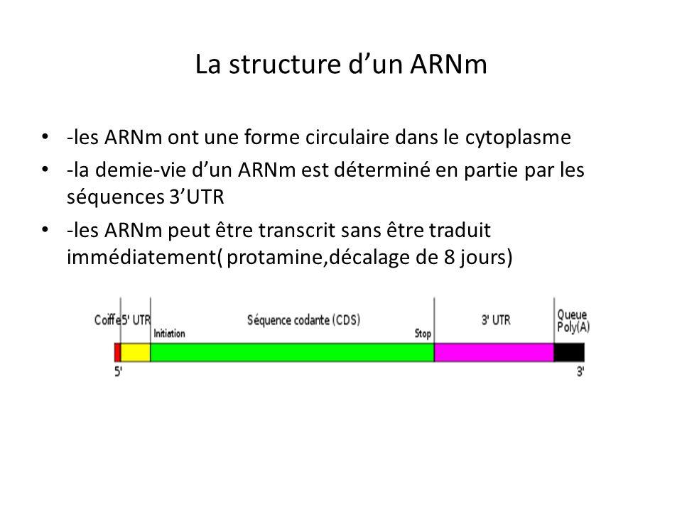 La structure d'un ARNm -les ARNm ont une forme circulaire dans le cytoplasme.
