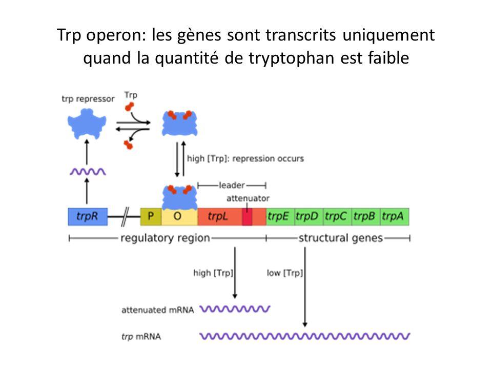 Trp operon: les gènes sont transcrits uniquement quand la quantité de tryptophan est faible