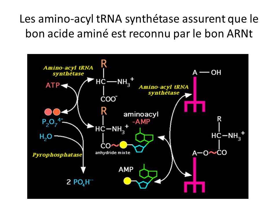 Les amino-acyl tRNA synthétase assurent que le bon acide aminé est reconnu par le bon ARNt