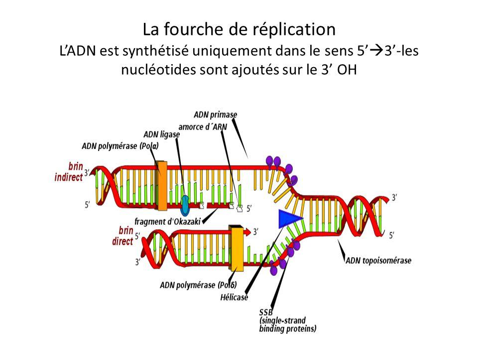 La fourche de réplication L'ADN est synthétisé uniquement dans le sens 5'3'-les nucléotides sont ajoutés sur le 3' OH