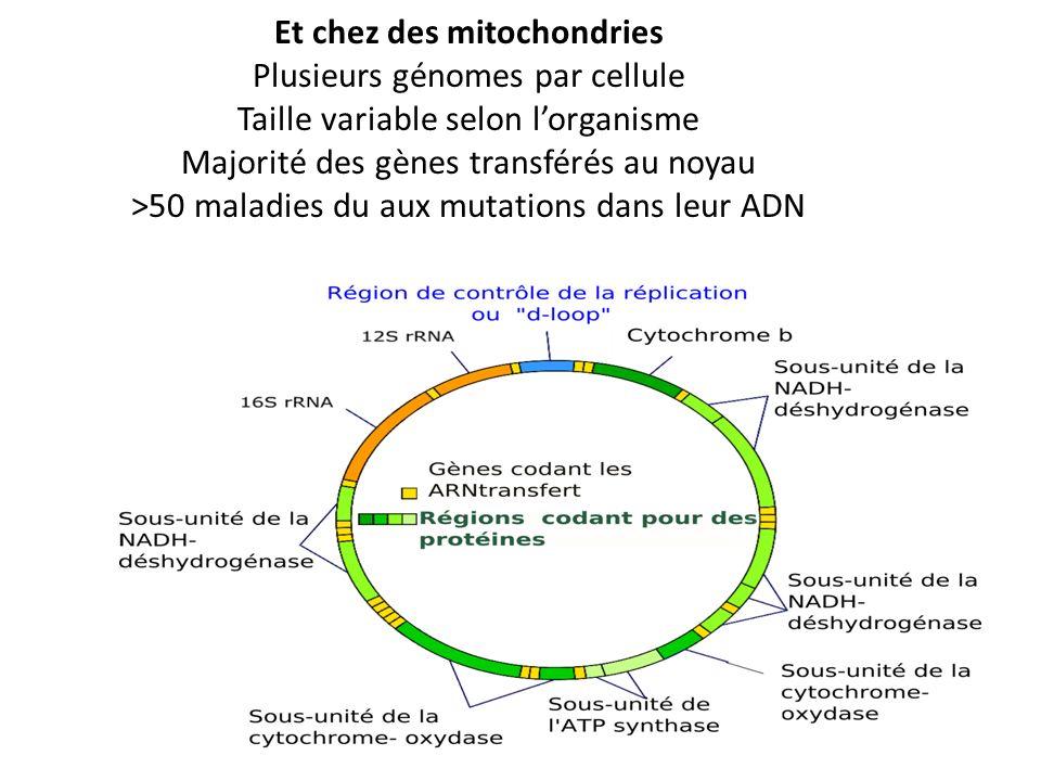 Et chez des mitochondries Plusieurs génomes par cellule Taille variable selon l'organisme Majorité des gènes transférés au noyau >50 maladies du aux mutations dans leur ADN