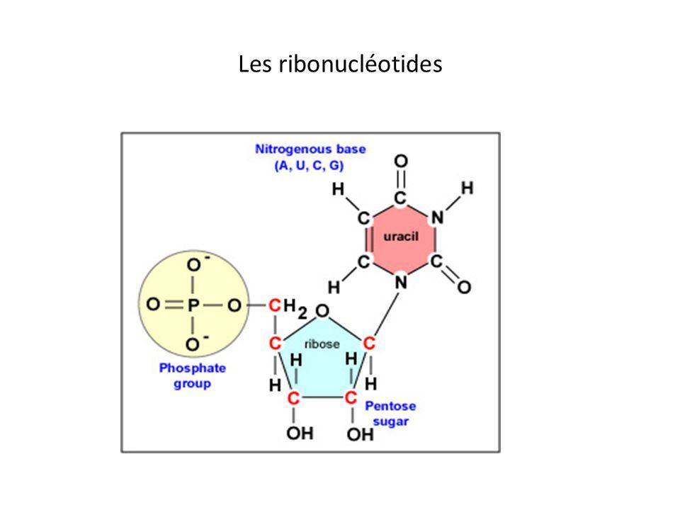 Les ribonucléotides