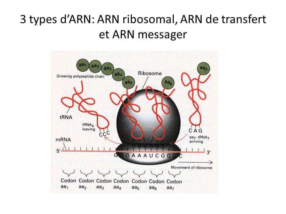 3 types d'ARN: ARN ribosomal, ARN de transfert et ARN messager