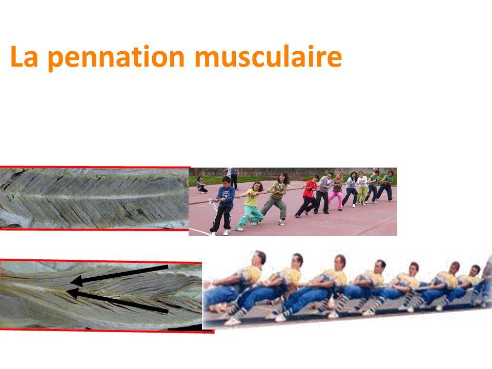 La pennation musculaire