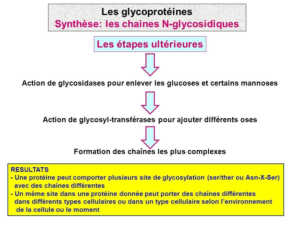 Synthèse: les chaines N-glycosidiques Les étapes ultérieures