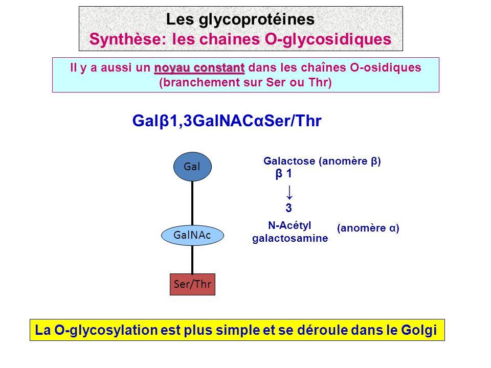 Les glycoprotéines Synthèse: les chaines O-glycosidiques
