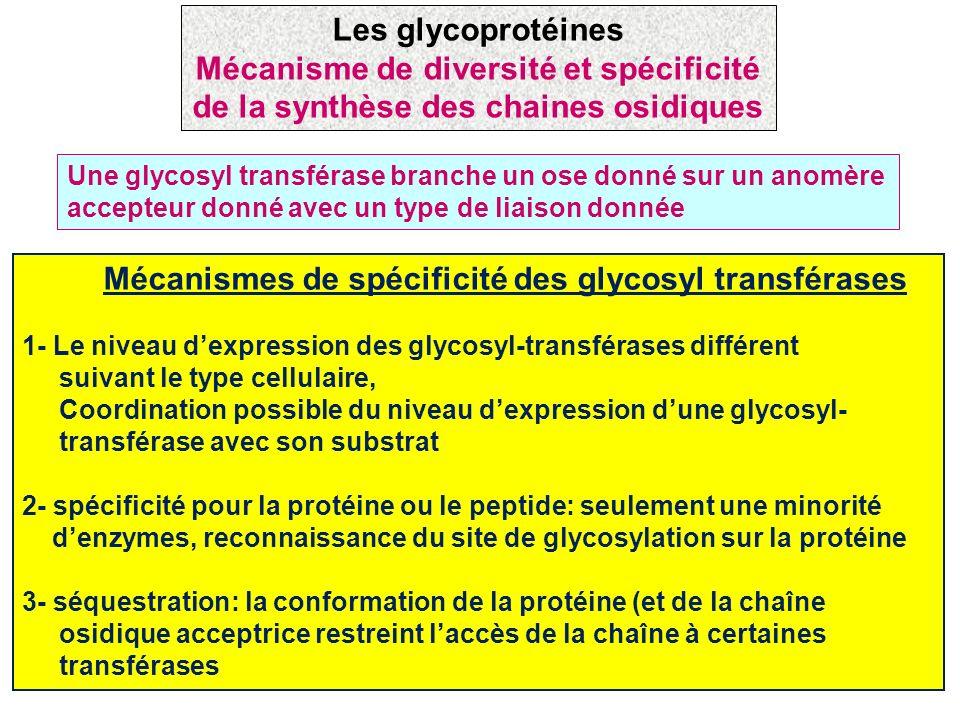 Les glycoprotéines Mécanisme de diversité et spécificité de la synthèse des chaines osidiques.
