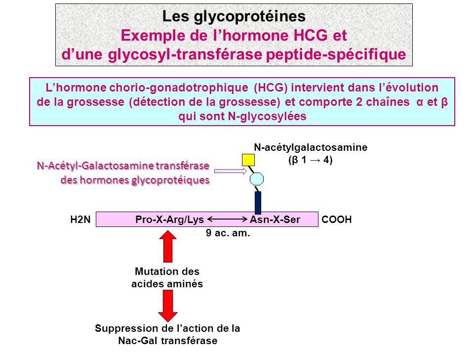 Les glycoprotéines Exemple de l'hormone HCG et d'une glycosyl-transférase peptide-spécifique.