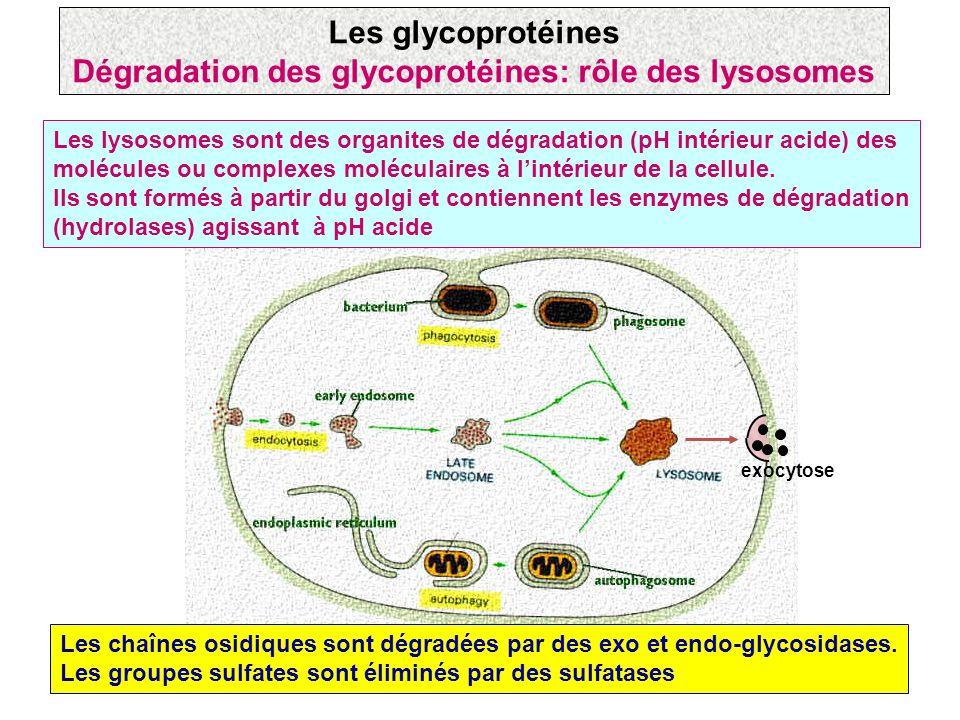 Dégradation des glycoprotéines: rôle des lysosomes