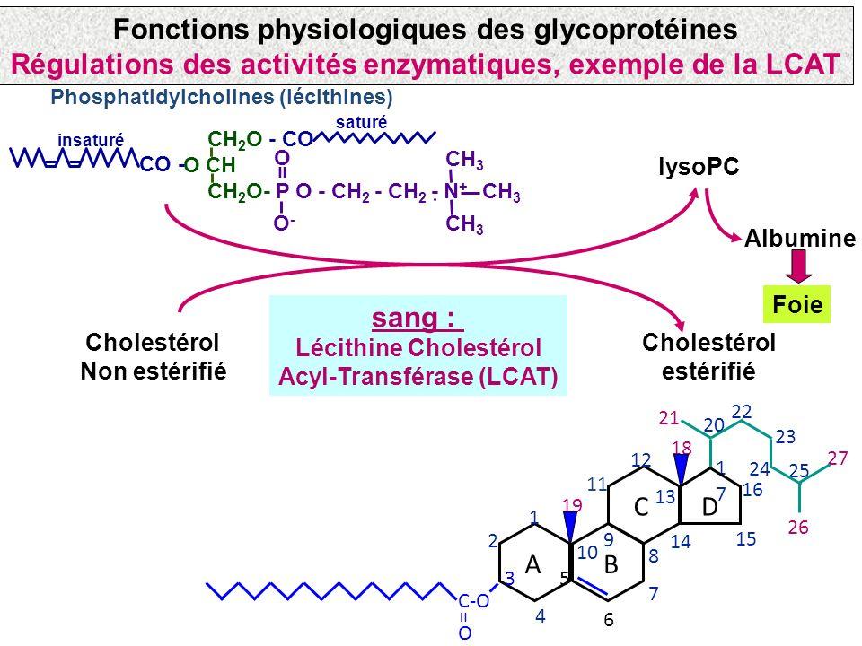 Fonctions physiologiques des glycoprotéines