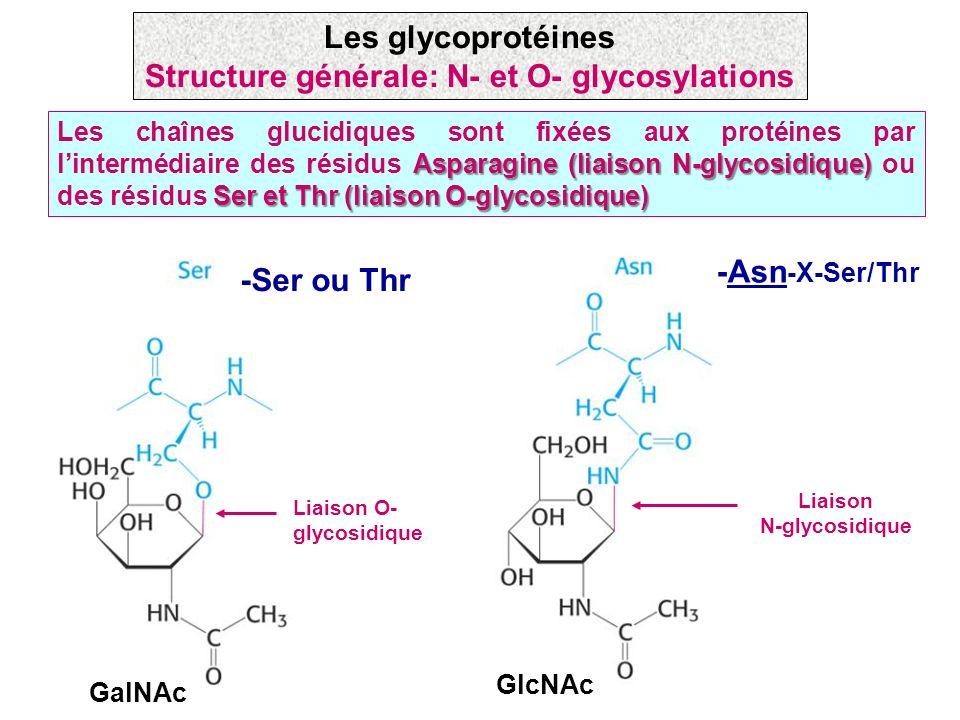 Structure générale: N- et O- glycosylations