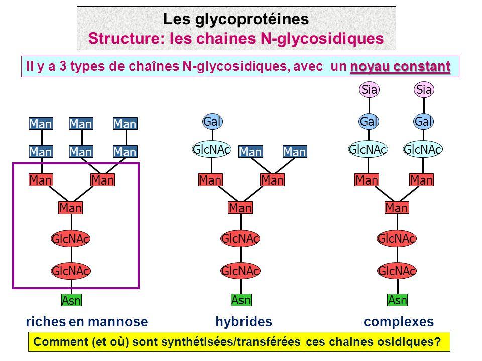 Structure: les chaines N-glycosidiques