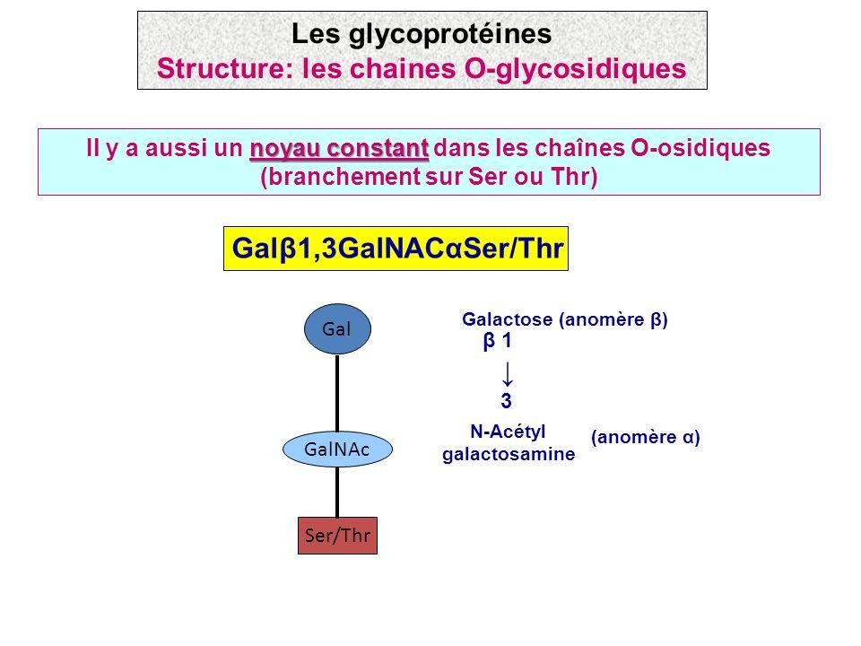 Les glycoprotéines Structure: les chaines O-glycosidiques