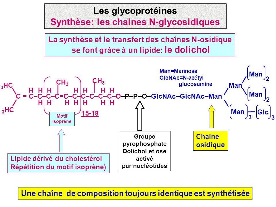 Les glycoprotéines Synthèse: les chaines N-glycosidiques