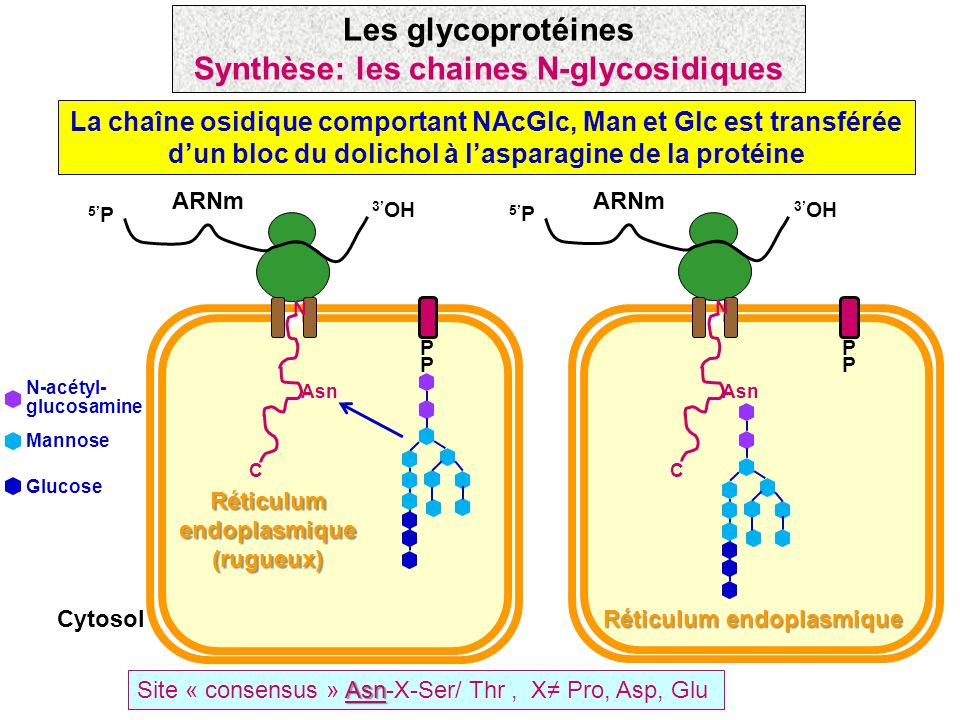 Synthèse: les chaines N-glycosidiques