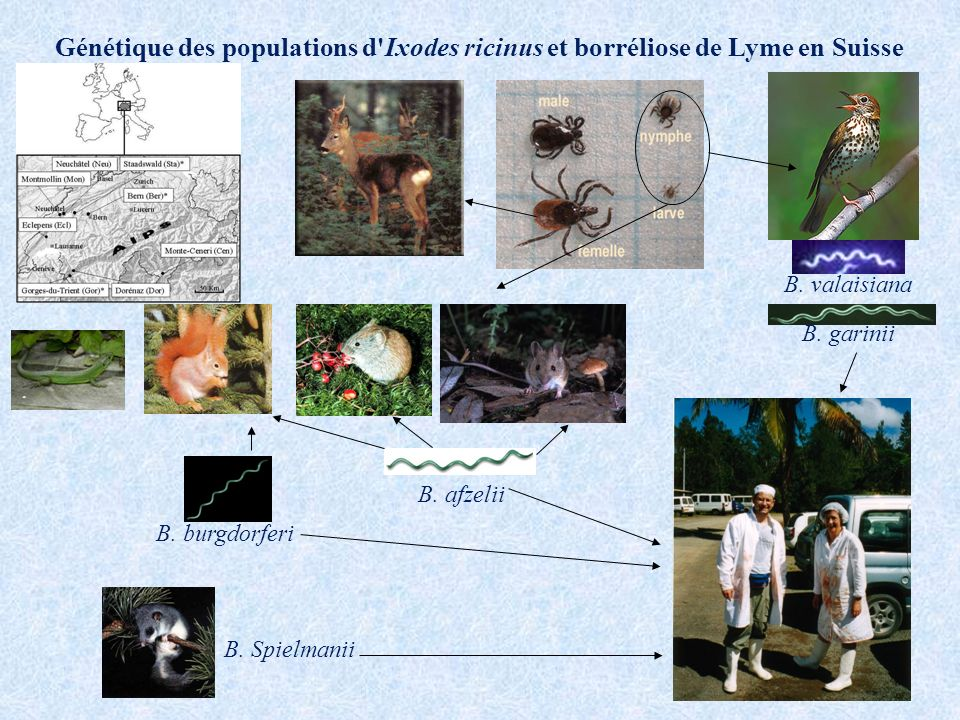 Génétique des populations d Ixodes ricinus et borréliose de Lyme en Suisse