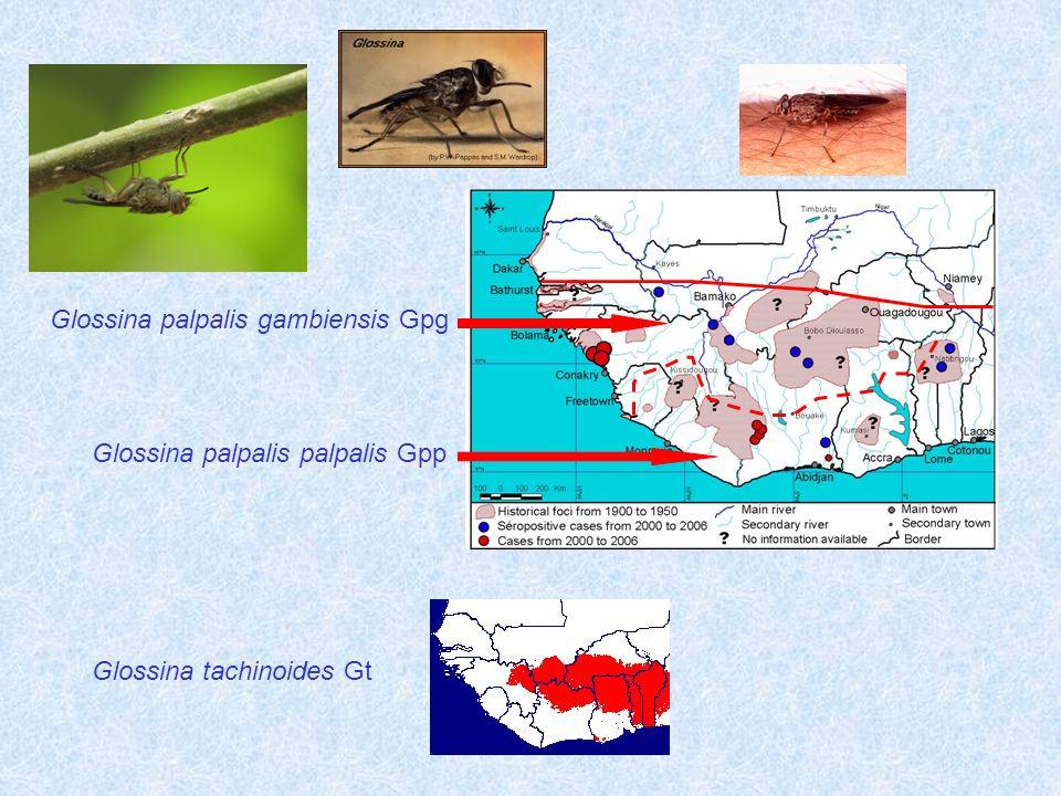 Glossina palpalis gambiensis Gpg
