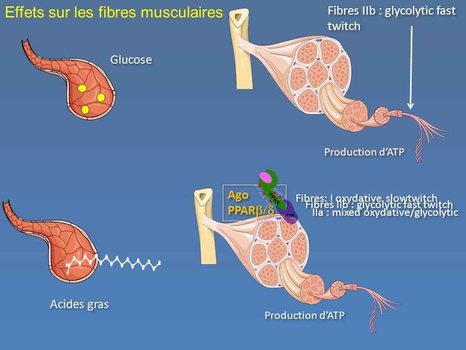 Effets sur les fibres musculaires