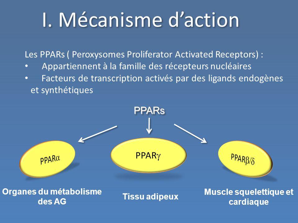 Organes du métabolisme des AG Muscle squelettique et cardiaque
