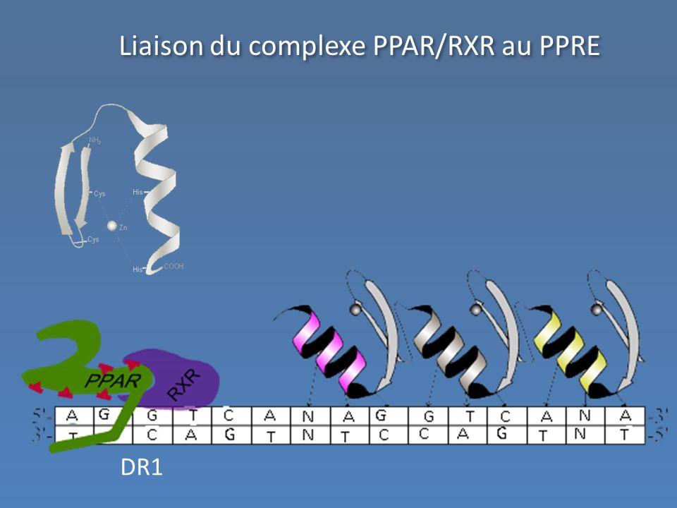 Liaison du complexe PPAR/RXR au PPRE