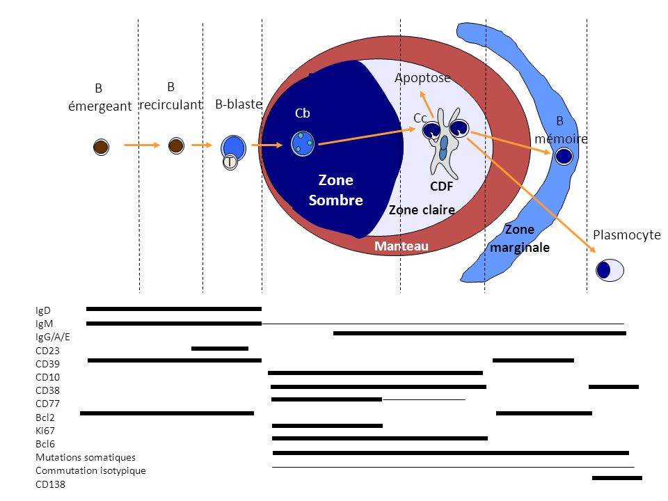Zone Sombre Apoptose B B émergeant recirculant B-blaste Cb Cc B