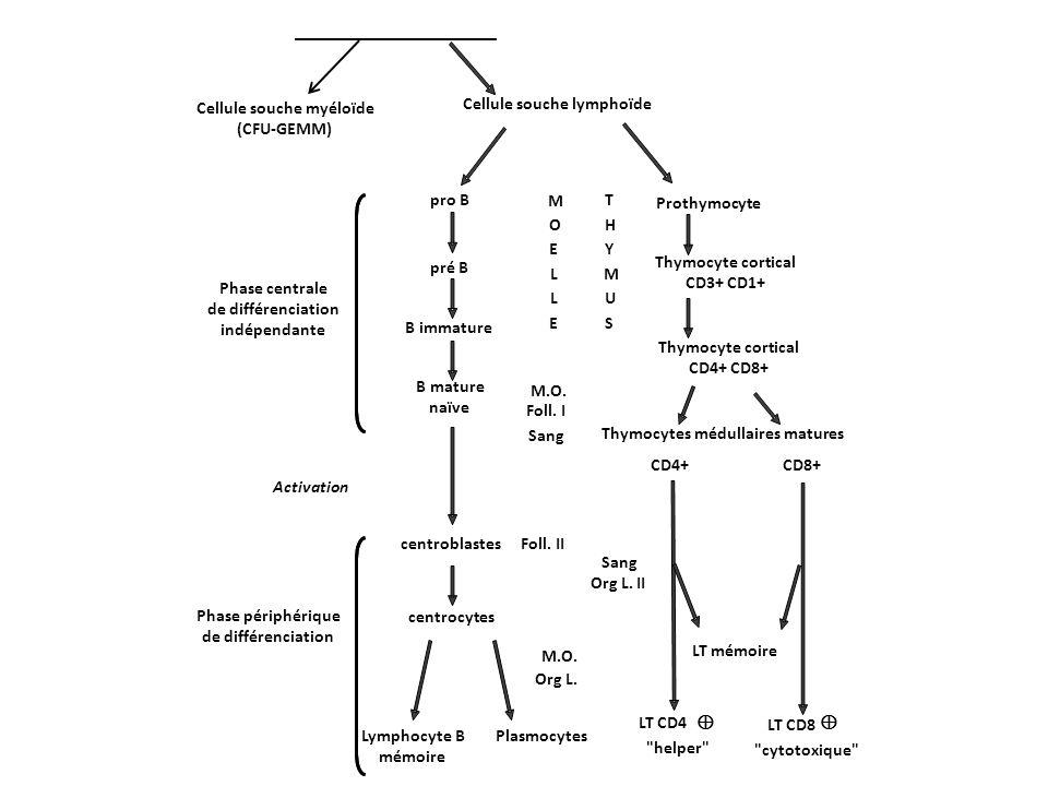 Cellule souche myéloïde