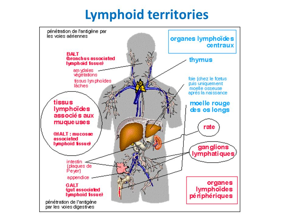 Lymphoid territories