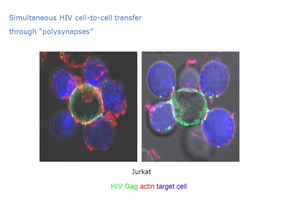 Simultaneous HIV cell-to-cell transfer through polysynapses