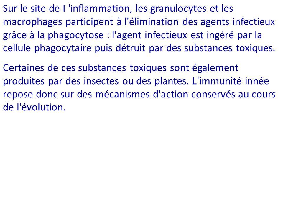 Sur le site de I inflammation, les granulocytes et les macrophages participent à l élimination des agents infectieux grâce à la phagocytose : l agent infectieux est ingéré par la cellule phagocytaire puis détruit par des substances toxiques.