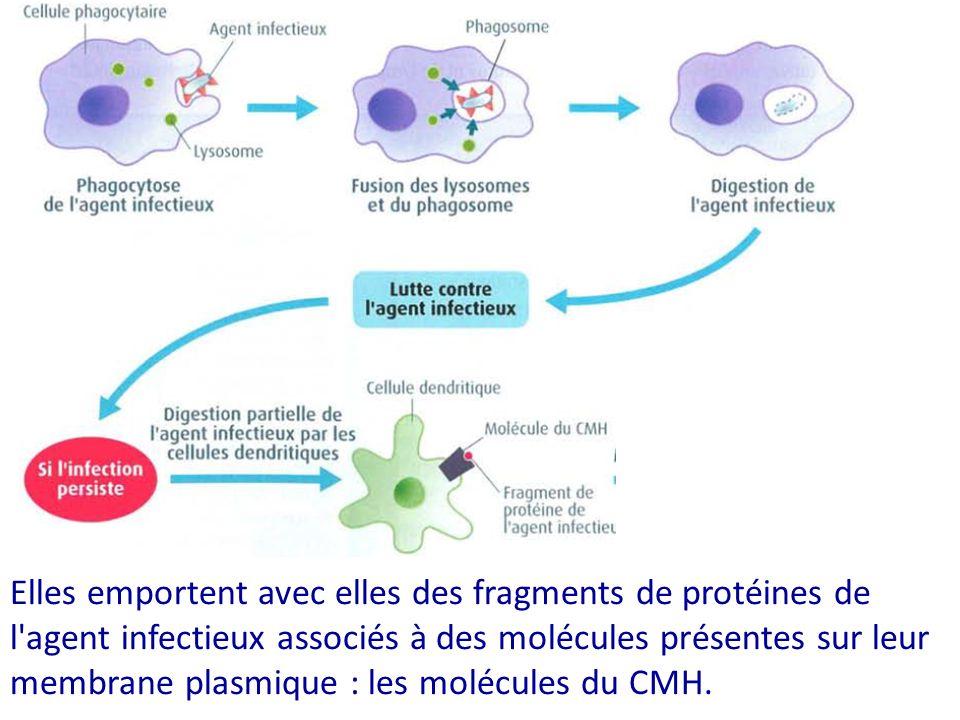 Elles emportent avec elles des fragments de protéines de l agent infectieux associés à des molécules présentes sur leur membrane plasmique : les molécules du CMH.