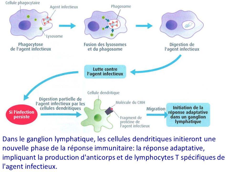 Dans le ganglion lymphatique, les cellules dendritiques initieront une nouvelle phase de la réponse immunitaire: la réponse adaptative, impliquant la production d anticorps et de lymphocytes T spécifiques de l agent infectieux.