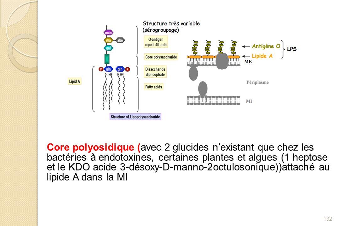 Core polyosidique (avec 2 glucides n'existant que chez les bactéries à endotoxines, certaines plantes et algues (1 heptose et le KDO acide 3-désoxy-D-manno-2octulosonique))attaché au lipide A dans la MI