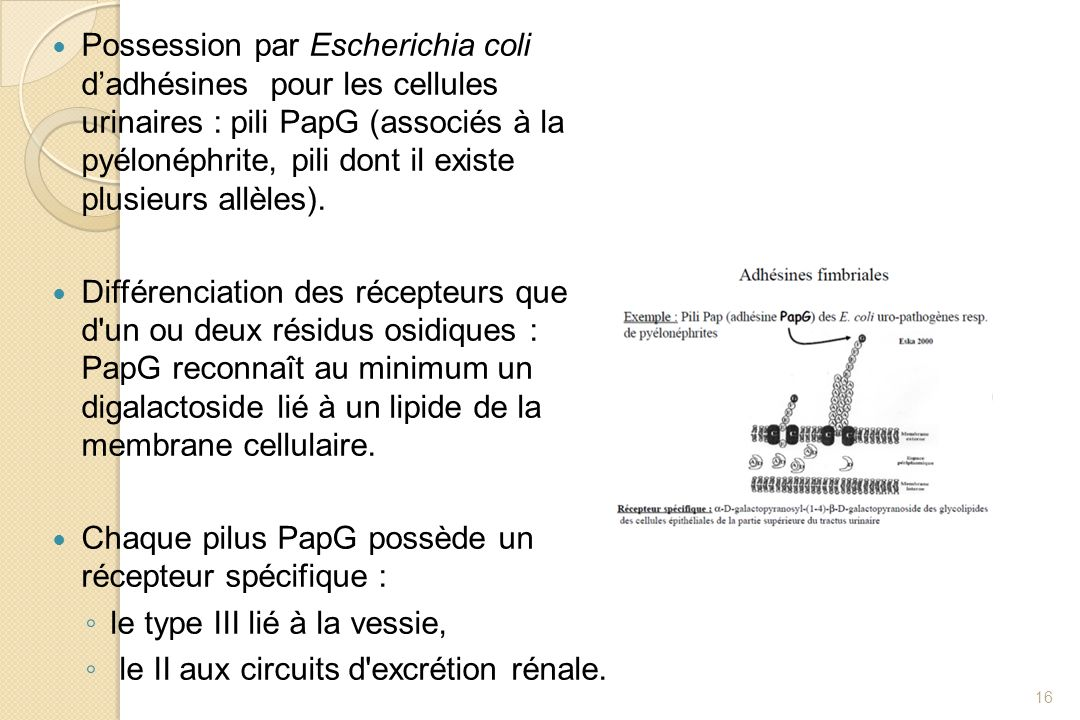 Possession par Escherichia coli d'adhésines pour les cellules urinaires : pili PapG (associés à la pyélonéphrite, pili dont il existe plusieurs allèles).
