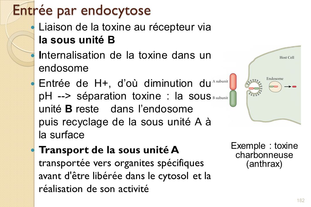Exemple : toxine charbonneuse (anthrax)