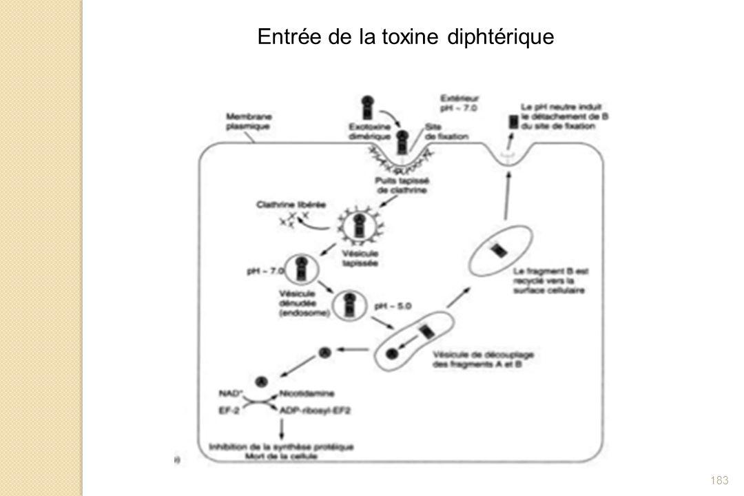Entrée de la toxine diphtérique