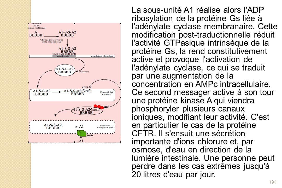 La sous-unité A1 réalise alors l ADP ribosylation de la protéine Gs liée à l adénylate cyclase membranaire.